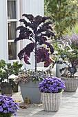 Feather cabbage 'Scarlet' dark violet, kale 'Altmärker Braunkohl'