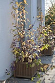 Callicarpa (love pearl shrub) with purple berries