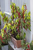 Sweet hot peppers 'Lombardo' (Capsicum annuum) in terracotta box