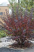 Physocarpus opulifolius 'Diabolo' in autumn color