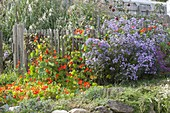 Wooden fence with Tropaeolum (nasturtium) and Aster novi-belgii