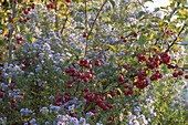 Asters novi-belgii, and branches of Malus 'Evereste'