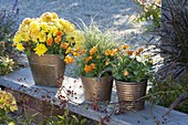 Metall-Töpfe mit Chrysanthemum (Herbstchrysantheme), Viola cornuta