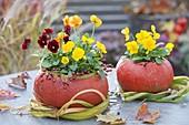 Viola cornuta, hollowed out pumpkins