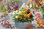 Zinc Bowl with Viola cornuta 'Orange' 'Primrose' 'Red with Blotch' 'White'