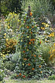 Black-eyed Susanne on homemade trellis aid in the flowerbed