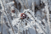 Frozen pink (rosehip) with ice crystals