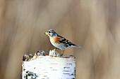 Mountain finch or Northern finch (Fringilla montifringilla) on tree stump
