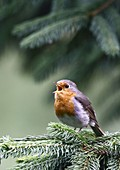 Robin (Erithacus rubecula) singing on a spruce branch