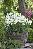 Basket with white Antirrhinum (snapdragon) in the farm garden