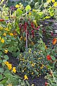 Pepperoni and ornamental paprika (Capsicum annuum) with Tropaeolum