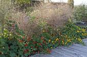 Tropaeolum majus (nasturtium) protects as groundcover