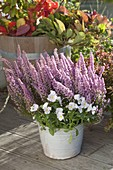 Erica gracilis (topferika) and viola cornuta (horned violet)