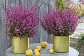 Erica gracilis in golden pots with chaenomeles