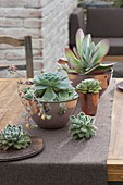 Echeveria and Kalanchoe thyrsiflora (desert cabbage)