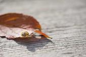 Tiny cottage snail on autumn leaf