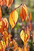 Prunus (ornamental cherry) in autumn coloration