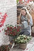 Woman pouring Skimmia japonica 'Kew White' and 'Winnie Dwarf'