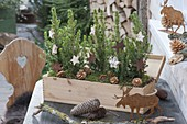 Prosecco wooden box festively planted with Picea glauca 'Conica'