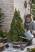 Woman watering Picea glauca 'Conica' (Canadian spruce)