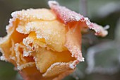 Roseblossom with rime border, pink 'Tequila' (rose) with frost