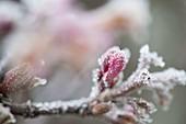 Frozen Viburnum bodnantense (Scented Snowball) flowers