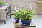 Spathiphyllum wallisii in blue enamel bowl and cup
