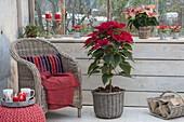 Euphorbia pulcherrima Saxonia 'Merlot' Stamm, 'Premium Picasso'
