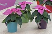 Euphorbia pulcherrima 'Princettia Hot Pink'