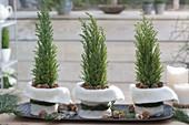 Chamaecyparis 'Ellwoodii Gold' (fake cypress) as a table decoration
