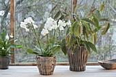 Phalaenopsis, Begonia maculata