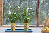 Spathiphyllum wallisii in Asian mugs by the window