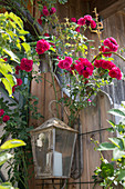 Pink 'Super Excelsa' (Rambler rose) on lantern on house wall
