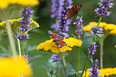 Peacock butterfly on flowers of Achillea and Agastache