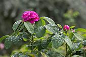 Rosa damascena 'Rose De Resht', often flowering, fragrant