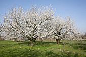 Blossoming prunus avium (sweet cherries) on the meadow