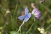 Hominy Blue on Trifolium pratense