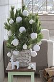 Pinus (pine) as a living Christmas tree with white Christmas globes