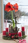 Amaryllis (Hippeastrum) as an unusual Advent decoration