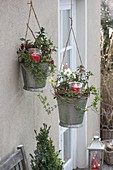 Zinc bucket hung as hanging baskets, planted with Ilex
