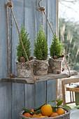 Chamaecyparis 'Ellwoodii Gold' in pots with birch bark