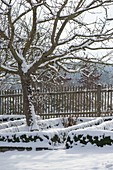 Snowy cottage garden with apple tree (malus) and fence
