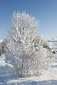 Thick rime-covered shrubs and trees