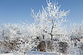 Apple trees covered in hoarfrost crystals, carpinus hedge