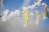 Frozen flowers of Corylus avellana (hazelnut)