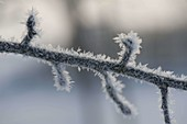 Frozen twig thickly coated with hoarfrost crystals
