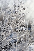 Frozen plants thickly coated with hoarfrost crystals