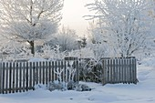 Snowy garden with wood fence, trees and bushes thick with hoarfrost