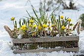 Box with Eranthis hyemalis and Crocus in the snow