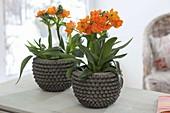 Ornithogalum dubium (orange star flower, gardener's death)